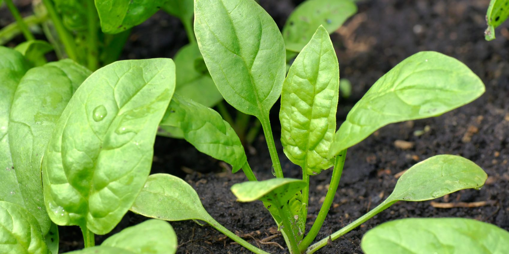 spinach plant space